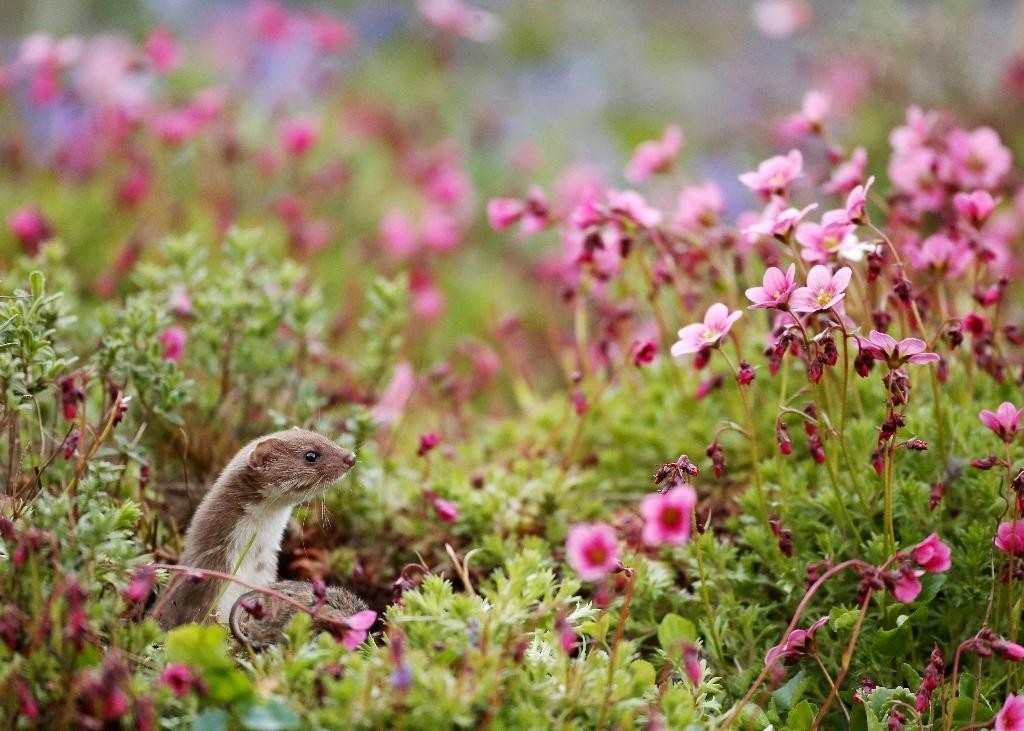 Common Weasel (Pic 2) | © Robert E Fuller BPWA Award