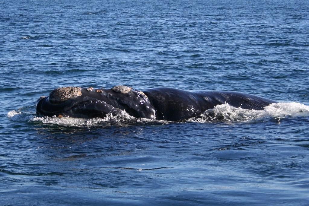 Southern Right Whale © Michaël Catanzariti/WikiCommons