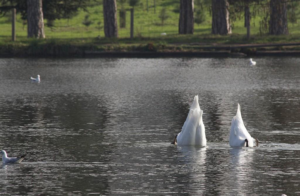 Swans ducking their heads under water │© fabrice