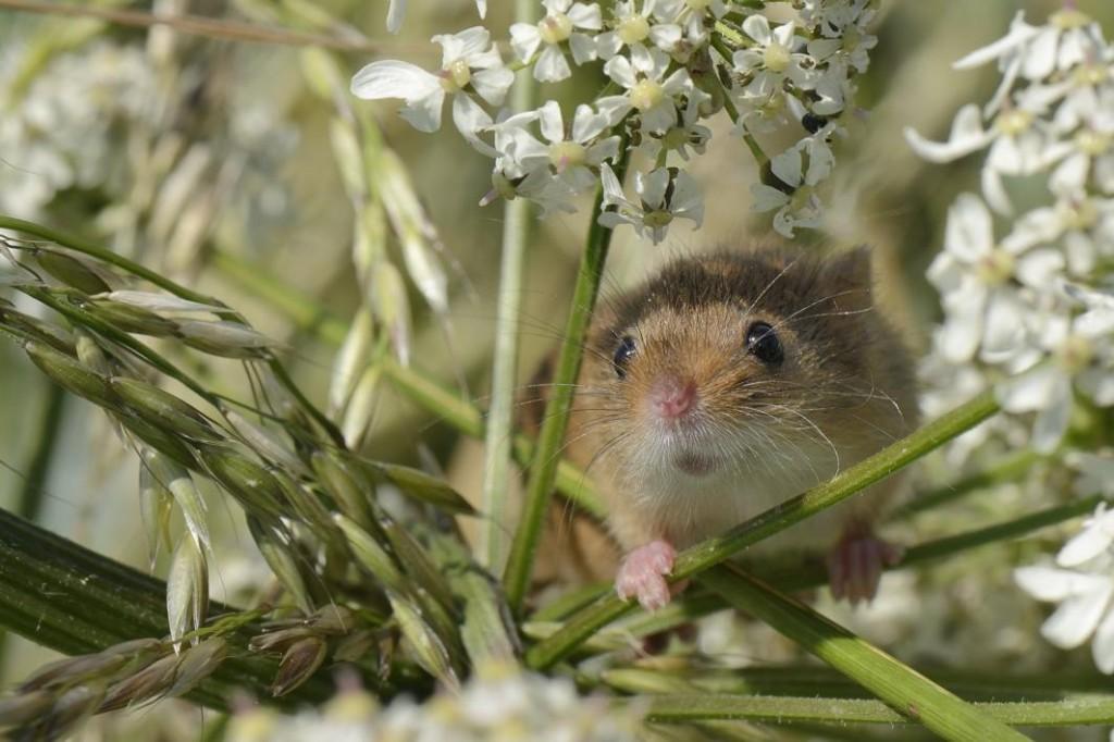 Monitoring Harvest Mice | © Nick Upton BPWA Award