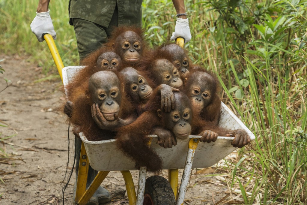 Tough Times for Orangutans. © Tim Laman. World Press Photo