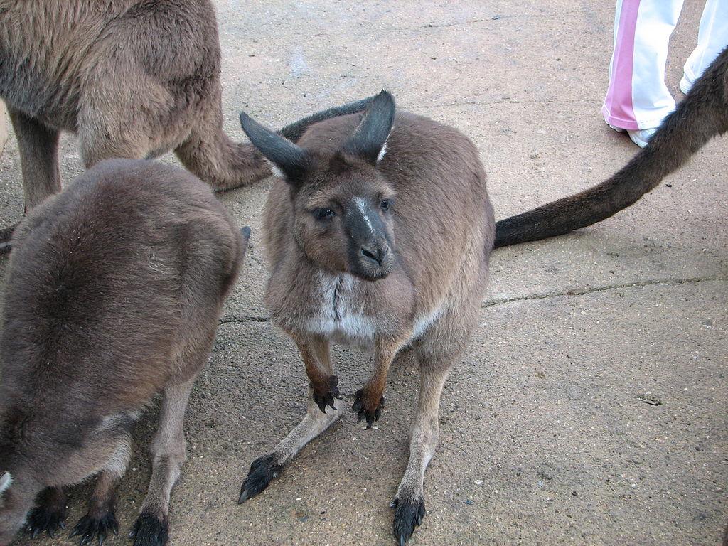 Kangaroo in Ballarat Wildlife Park | © edwin.11/WikiCommons