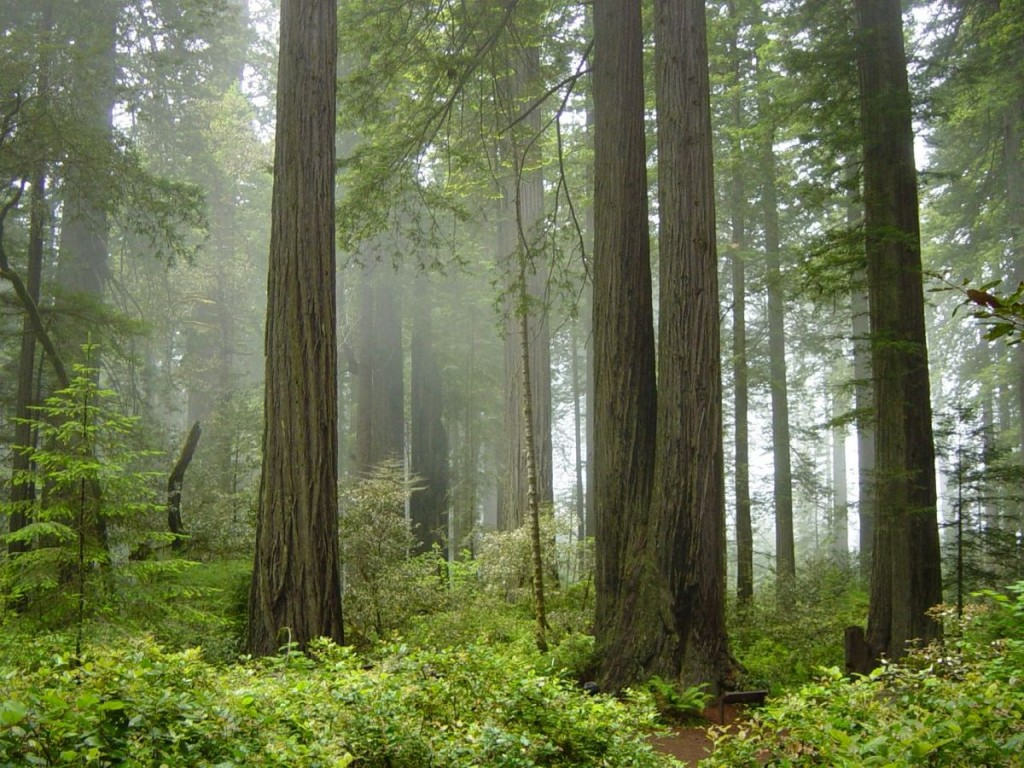 Redwood National and State Parks © Michael Schweppe/Wikipedia