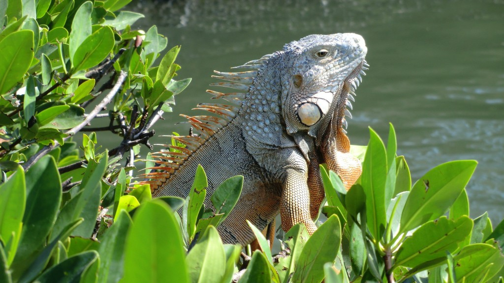 Florida Iguana, Islamorada (Florida Key's) | Courtesy of Reinhard Link/flickr