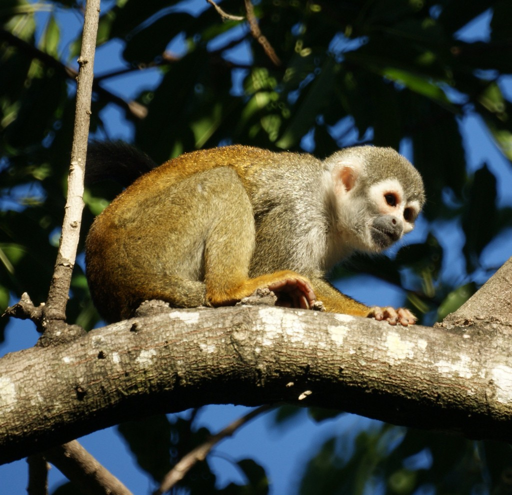 Squirrel Monkey at Bonnet House, Fort Lauderdale | Courtesy of Mike's Birds/Flickr