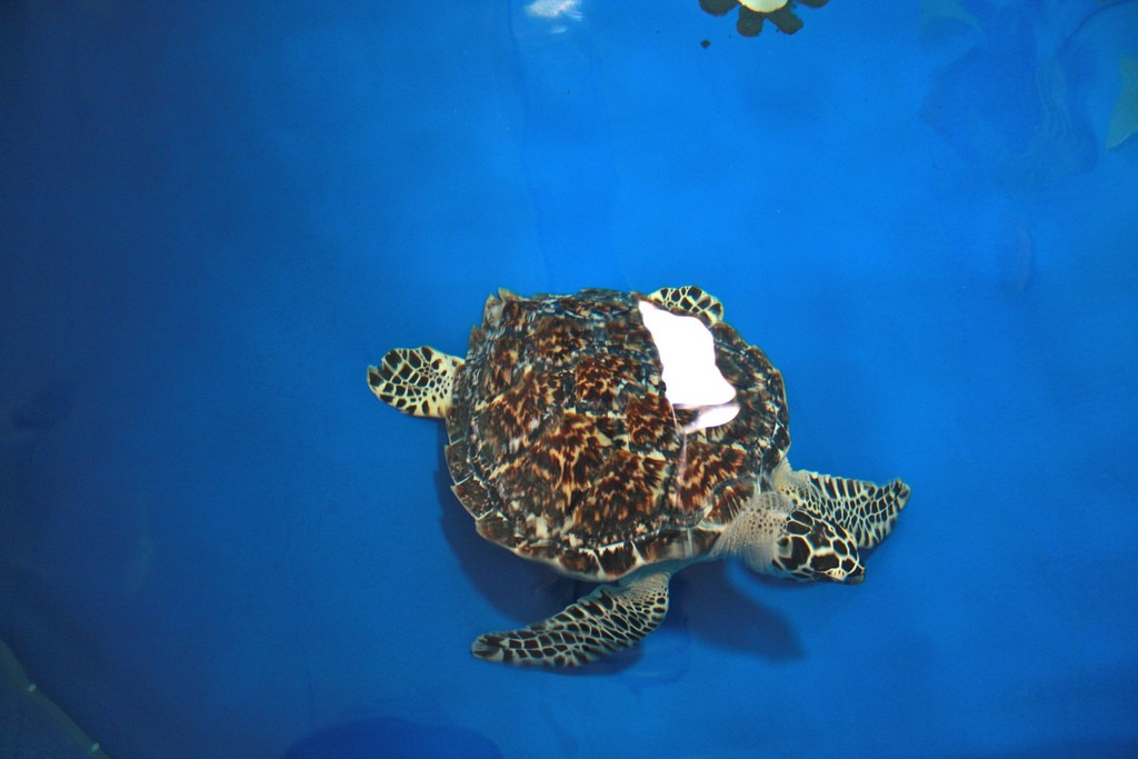 A recovering sea turtle at The Turtle Hospital, Marathon, Florida Keys | Courtesy of Mads Bodker/flickr