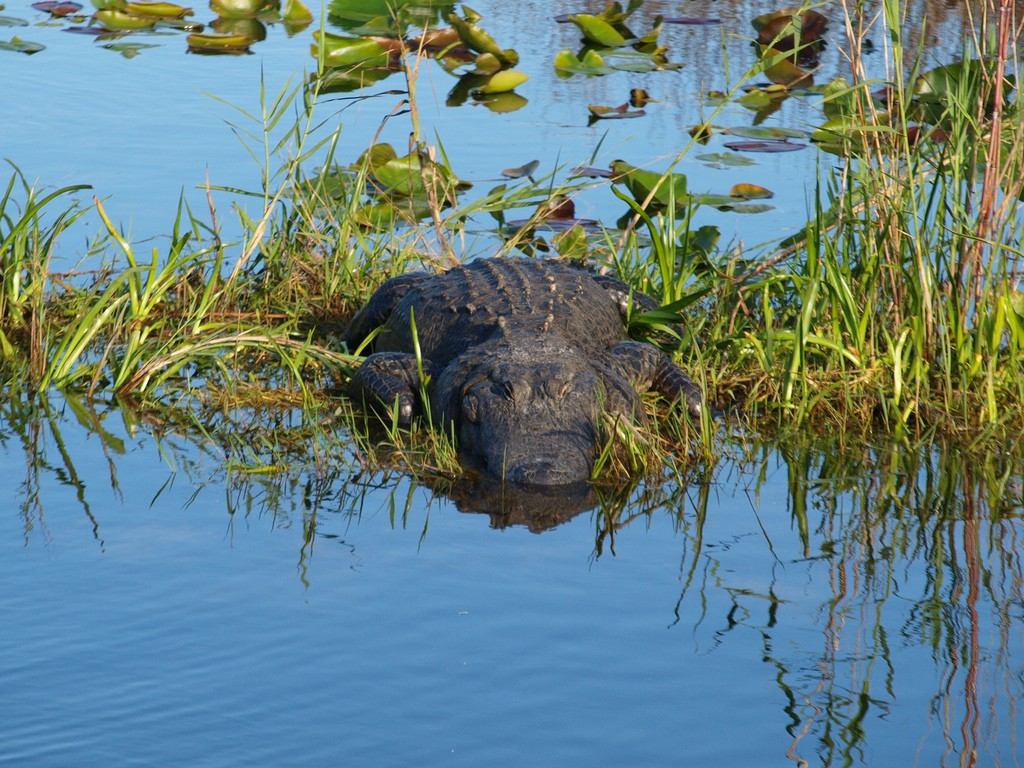 The Florida Aligator is the apex predator in the swampy wetlands of South East Florida | Courtesy of Rafal Prochnia/Flickr