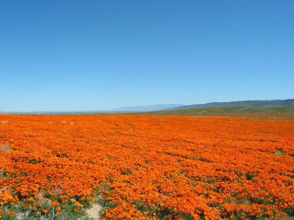 Antelope Valley Poppy Reserve © BorisFromStockdale/Wikipedia