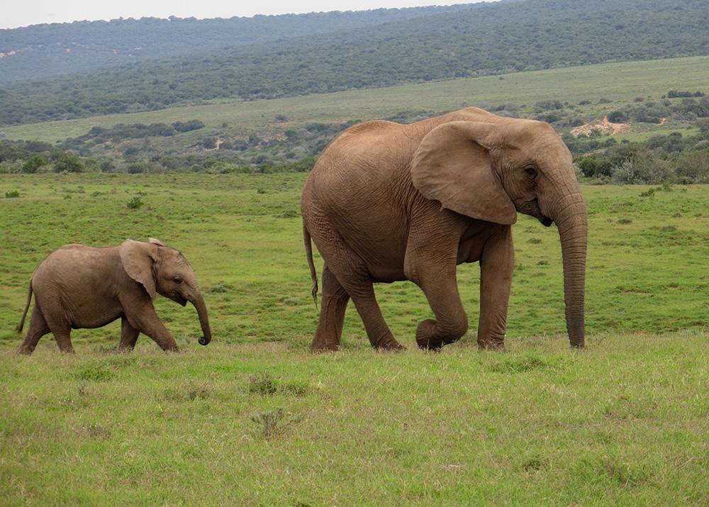 Elephants, Addo Elephant Park, Eastern Cape © Mindy McAdams / Flickr
