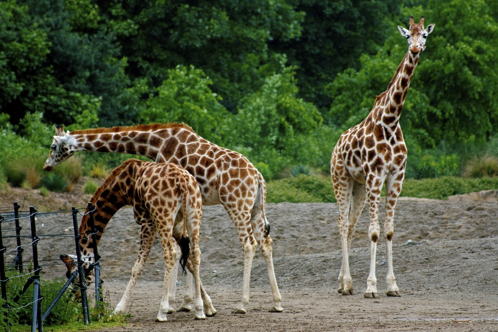 Why would you try and comb a giraffe?   © Neil Turner/Flickr