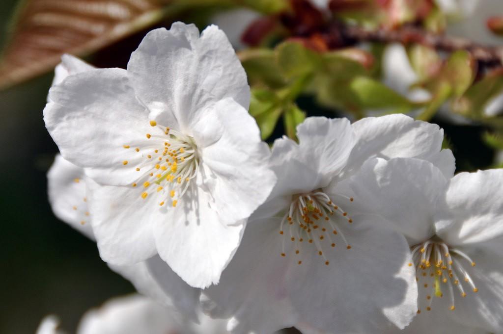 Sakura at Koganei Park | © kanegen/Flickr