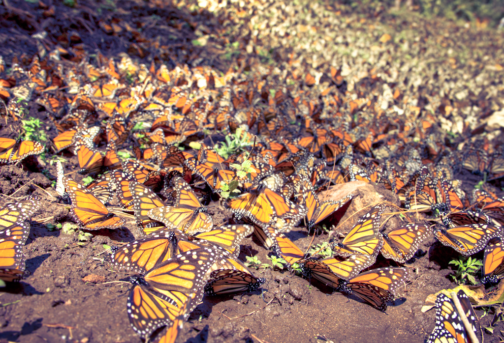 Monarch Butterflies | © Carlos Adampol Galindo/Flickr
