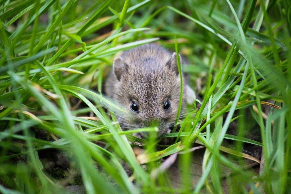 A mouse in a field │© btfrewinphotography