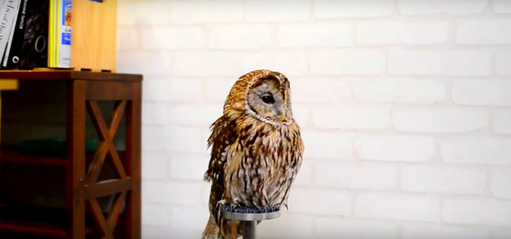 An owl at Cafe Baron | © Animal Cafes/Youtube