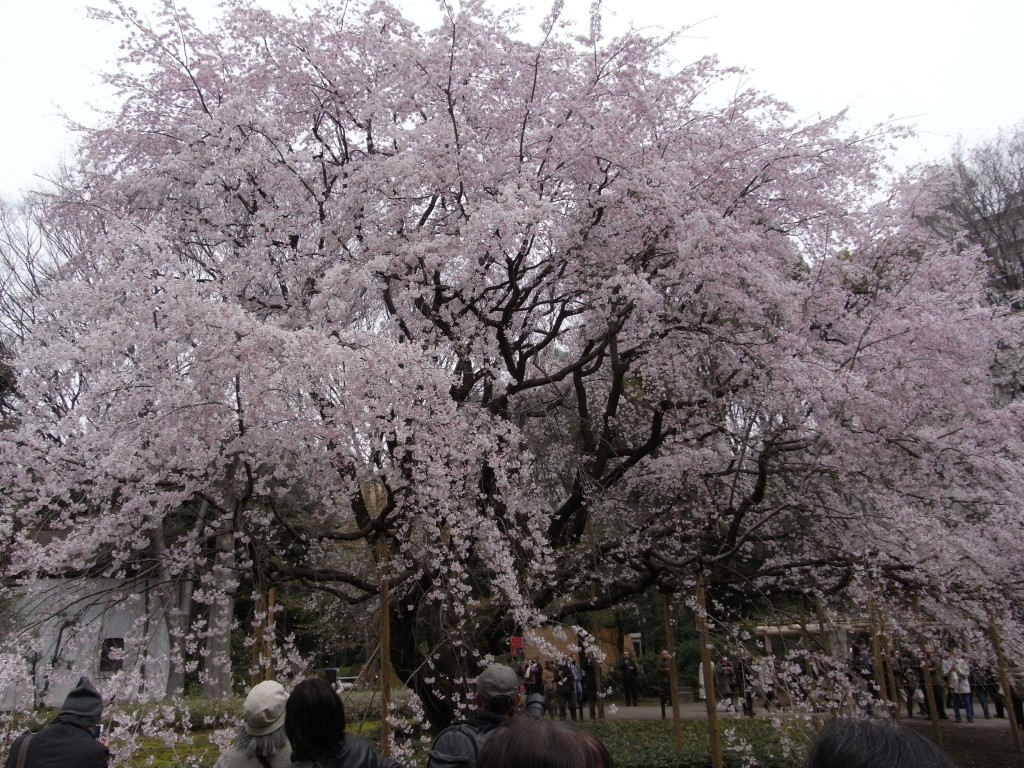 Cherry tree at Rikugien | © Katsutoshi Seki/WikiCommons