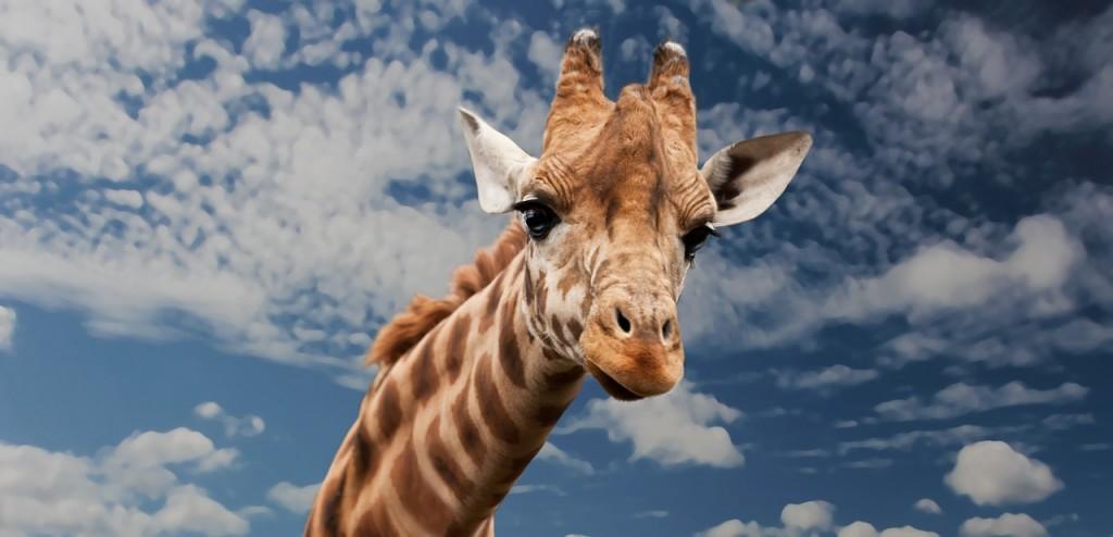 Giraffe │© Sponchia