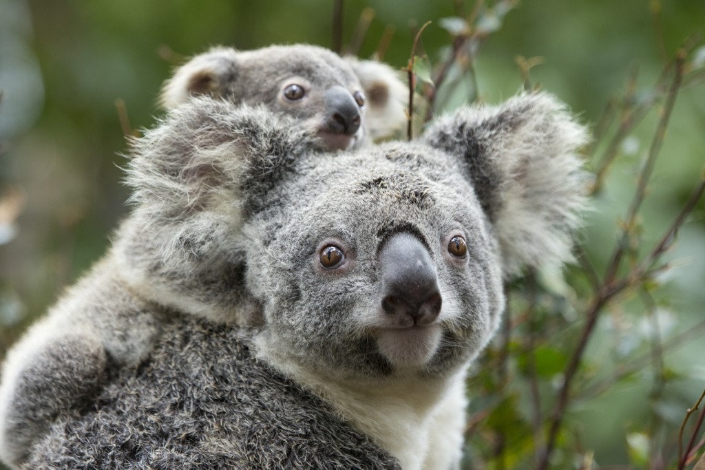 Courtesy Save the Koala
