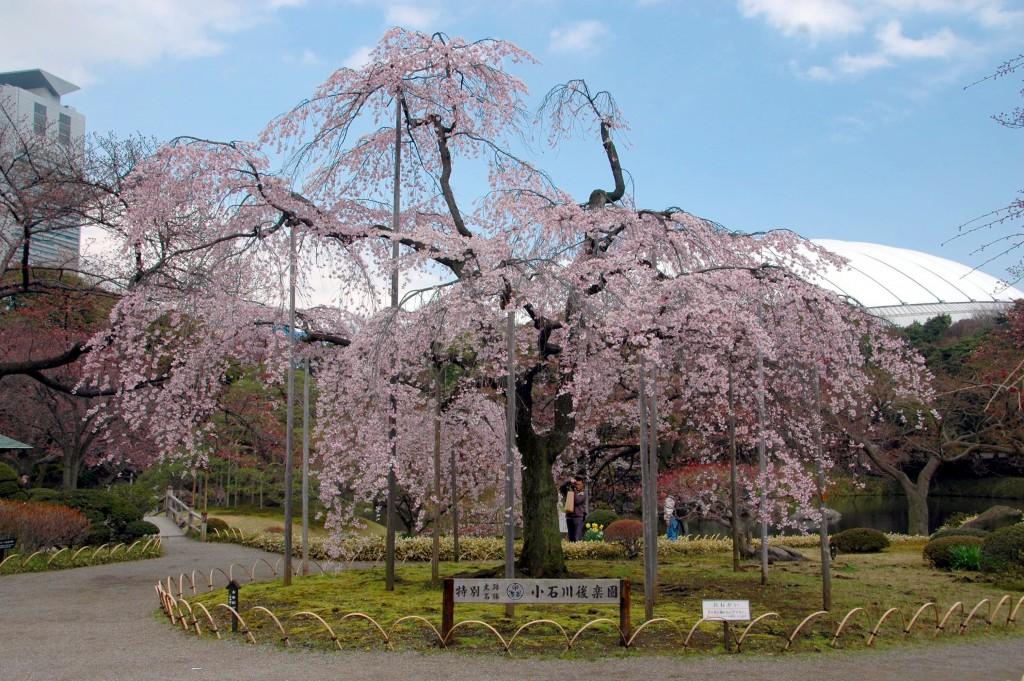 Weeping sakura tree at Koshikawa Korakuen | © Xmhaoyu/WikiCommons