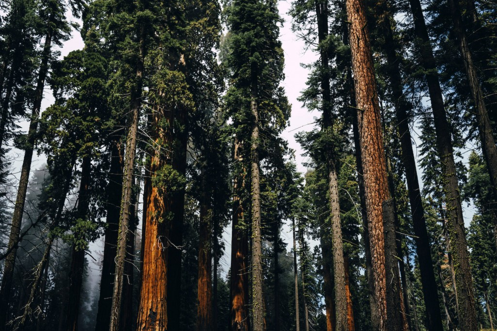 Tall Pine Forest, Sequoia National Park © Good Free Photos