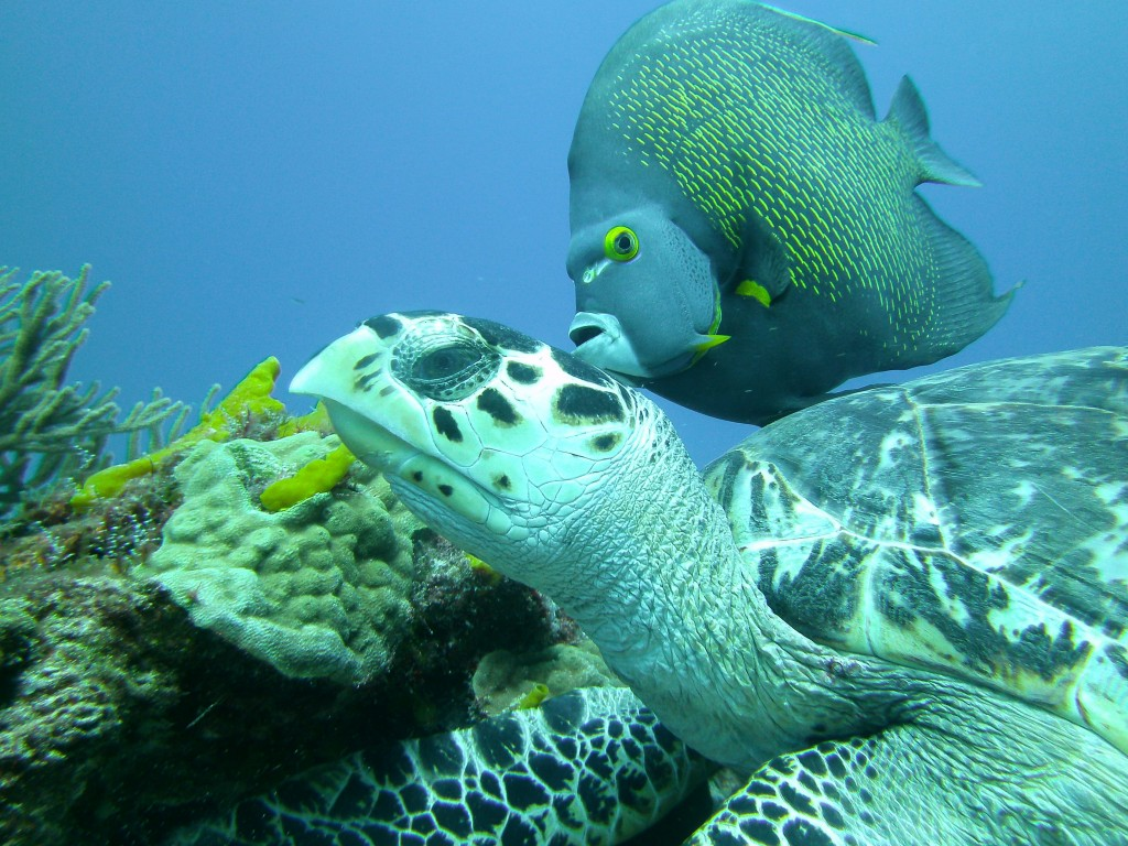 Turtle and Angel Fish, Cozumel | © Mandy/Flickr