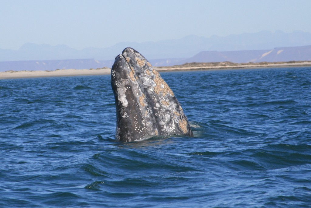 Whale in Baja California | © ryan Harvey/Flickr