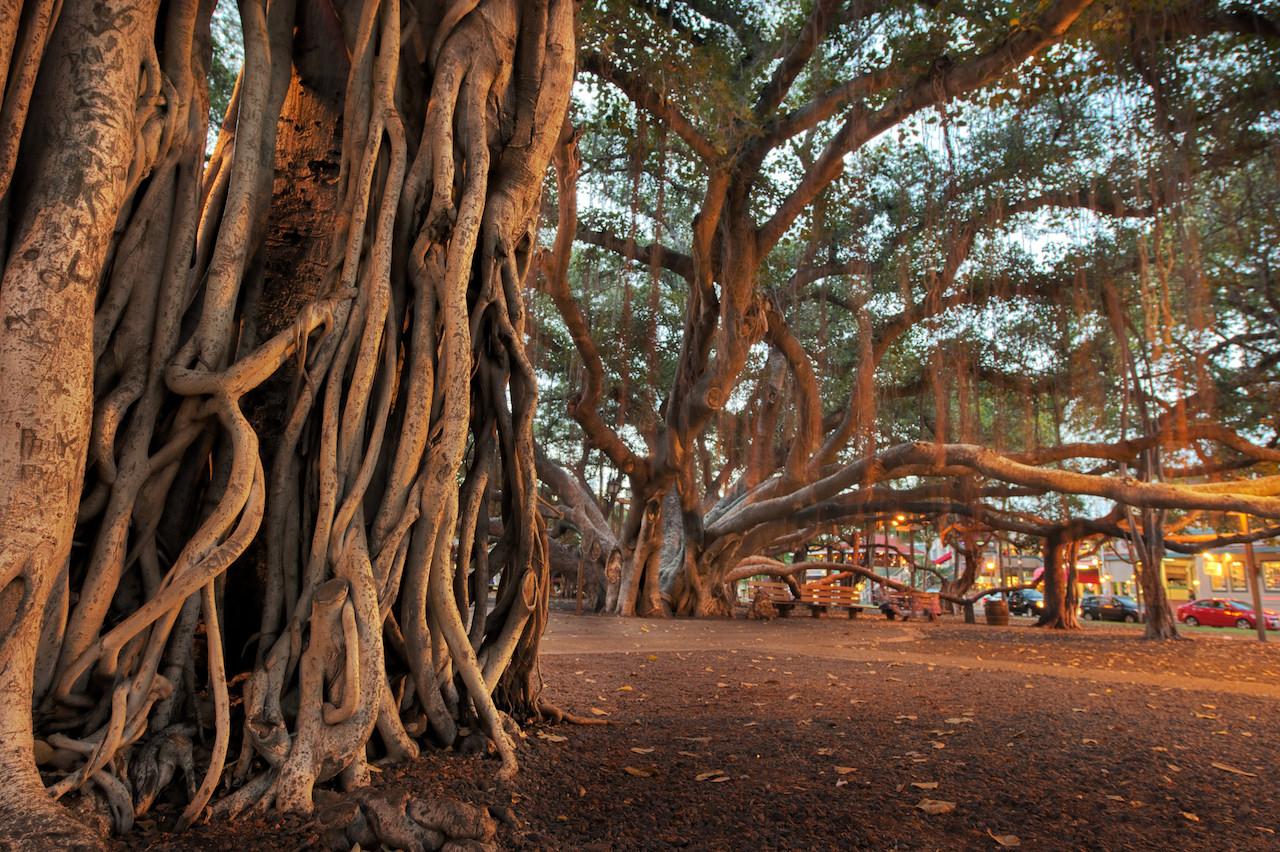 Banyan Tree in Lahaina, Hawaii | © Samantha Levang/Flickr