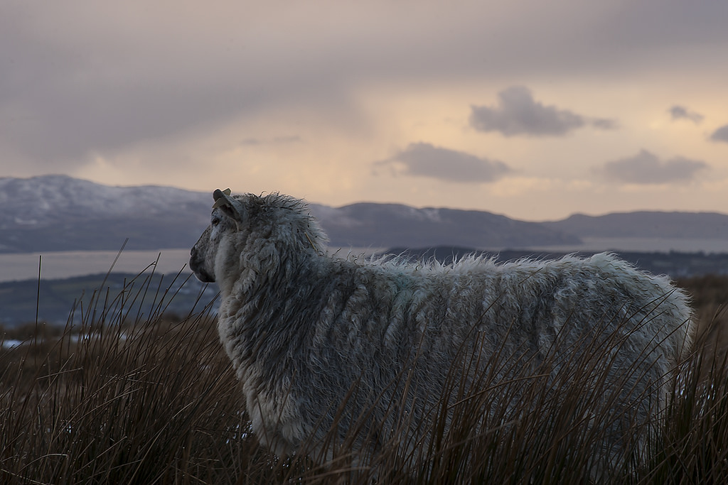 A Sheep in Clonglash, Donegal | © Greg Clarke/Flickr