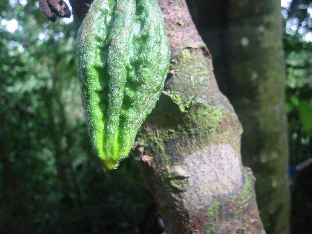 Cacao | © Andrés Monroy-Hernández/Flickr