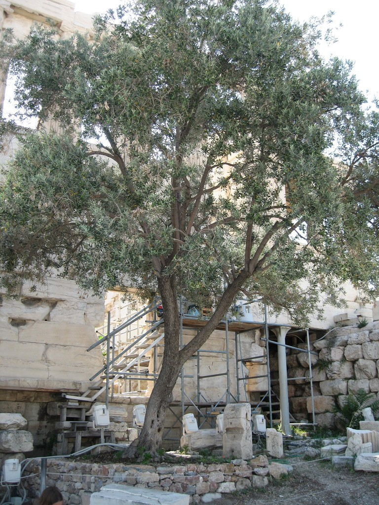 Athena's Olive tree - Greece - Acropolis: The Parthenon  © Tim/Flickr