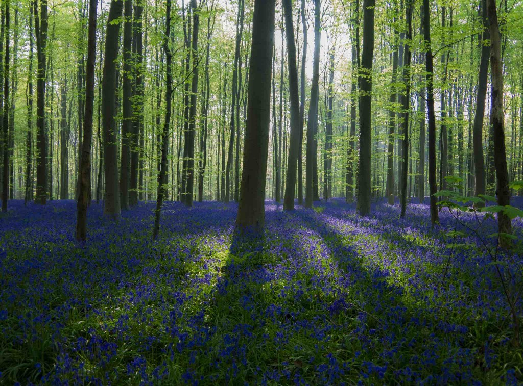Hallerbos | © Christophe Couckuyt/Flickr