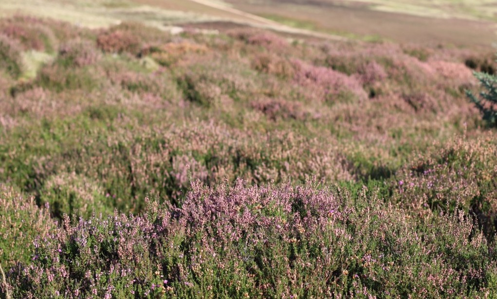 The Heather Of The Lammermuir Hills | Courtesy Of Tori Chalmers