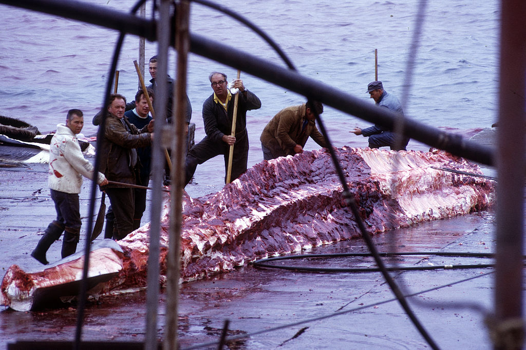 Whale skinning | © WayneRay/WikiMedia