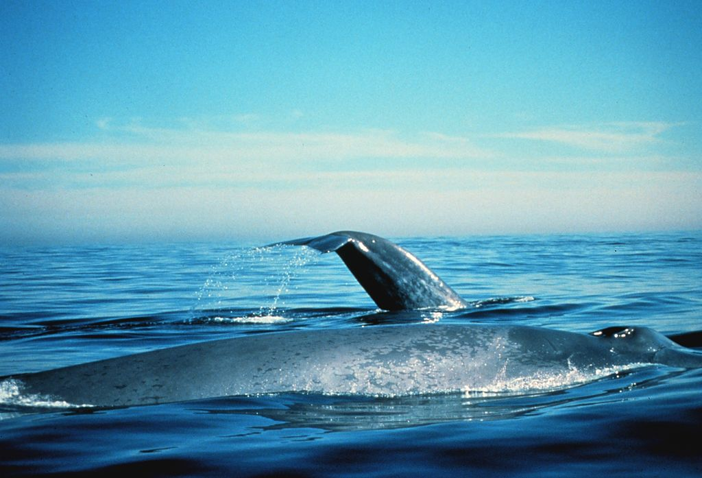 Blue Whales On The Surface. California, Gulf of the Farallones NMS | © Dan Shapiro/WikiCommons