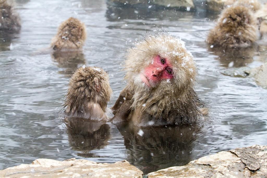 Macaques enjoying a bath in Yamanouchi, Japan | © Brian Jeffery Beggerly