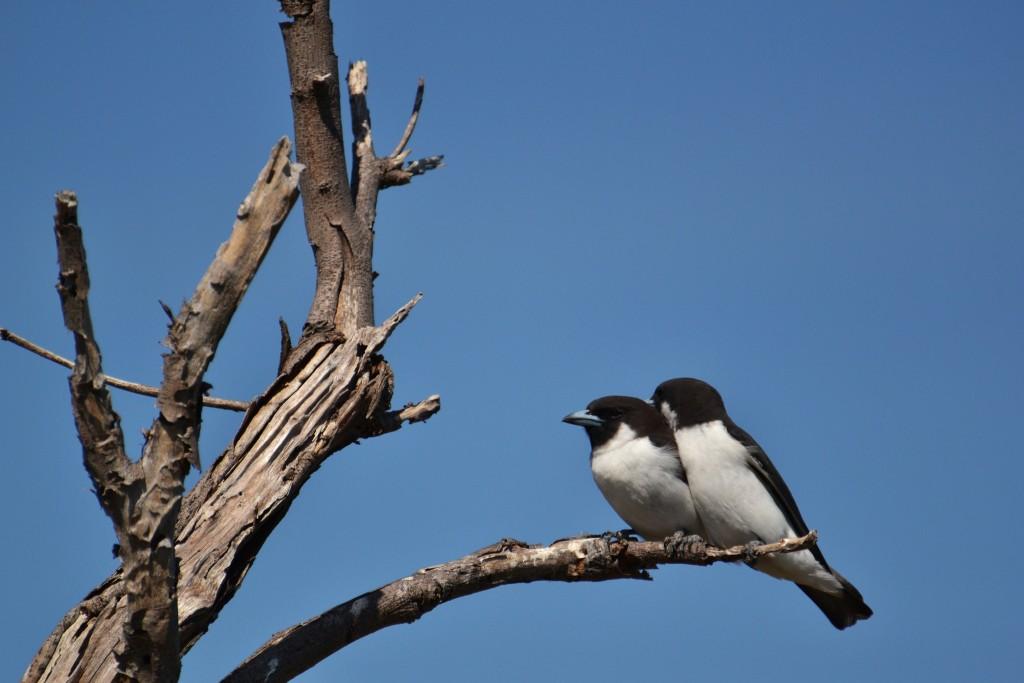 Fiji Woodswallow | © Victor Ulijn / Flickr