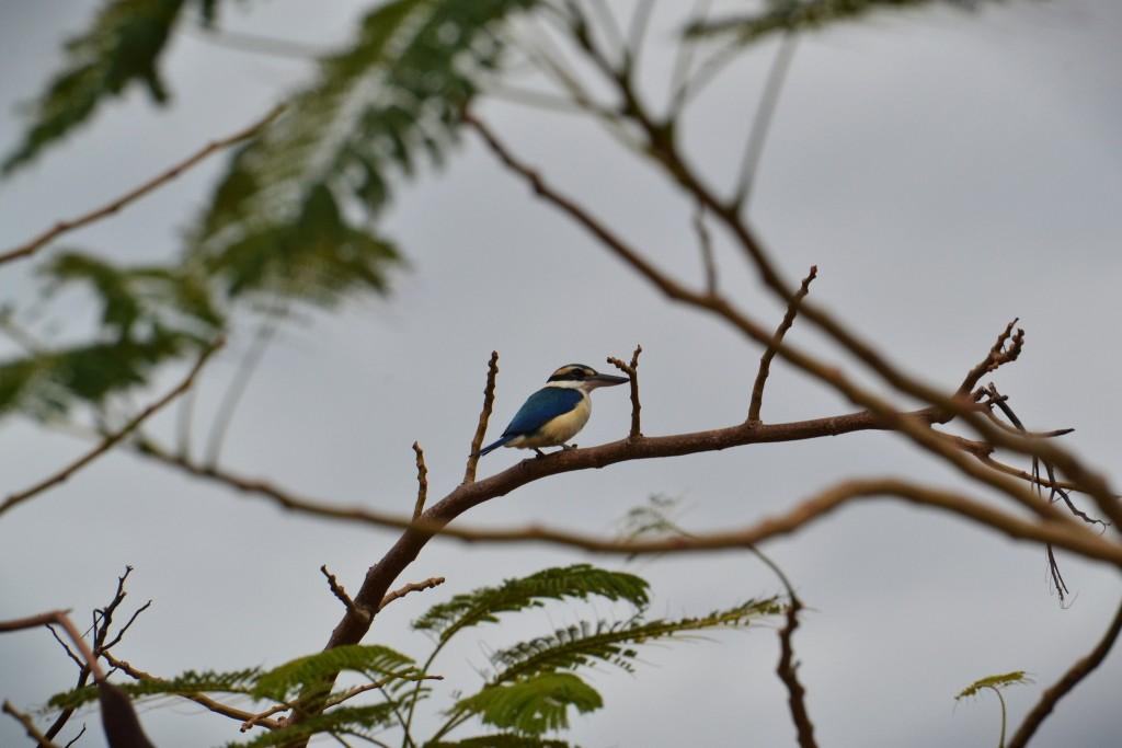 Collared Kingfisher | © Victor Ulijn / Flickr