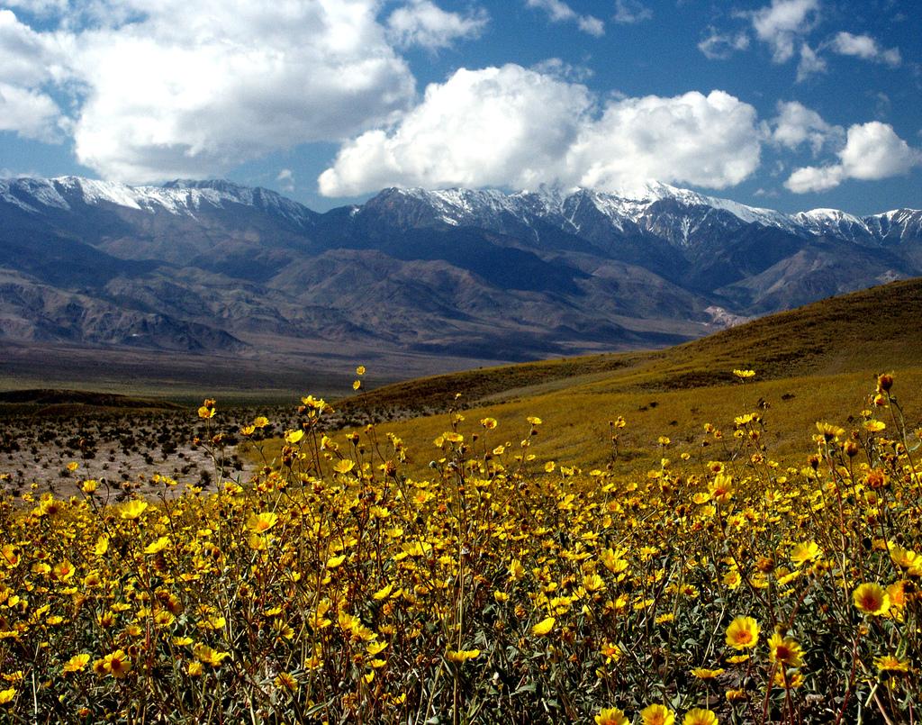 Desert Gold (Gerea canescens)   © Chuck Abbe/Flickr