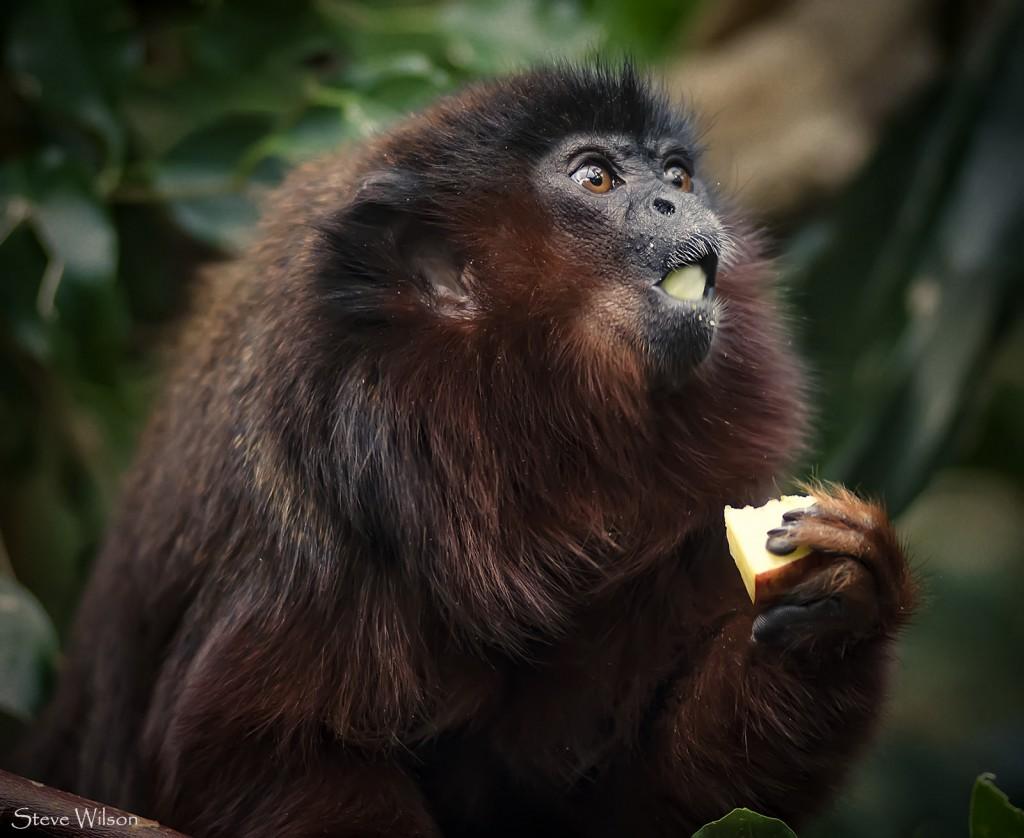 Titi Monkey | © PROSteve Wilson - over 8 million views Thanks !!/Flickr