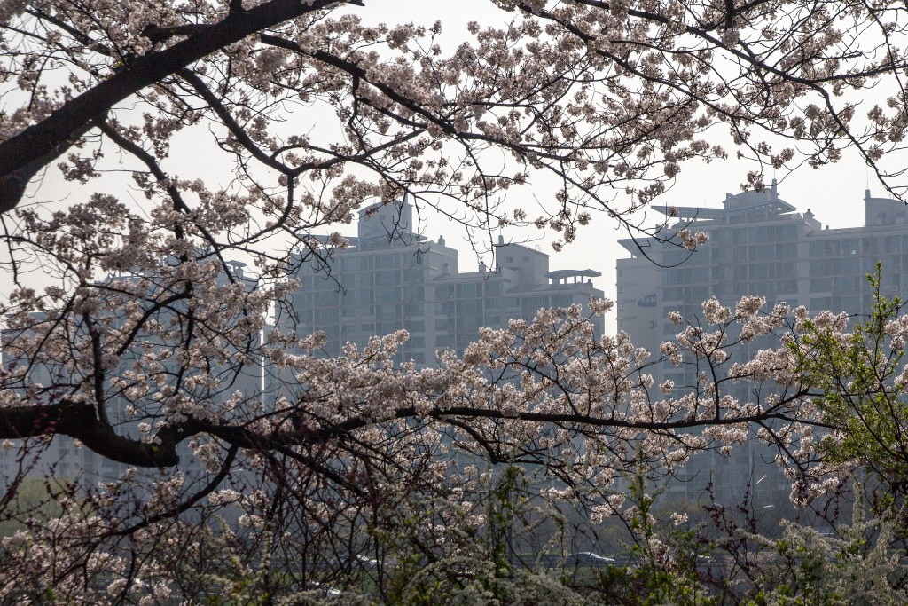 Cherry Blossom in Yeouido Park |©cat_collector / Flickr