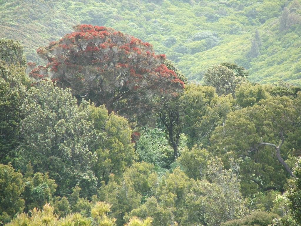Native Rata tree, Otari-Wilton's Bush   © dubh/Flickr