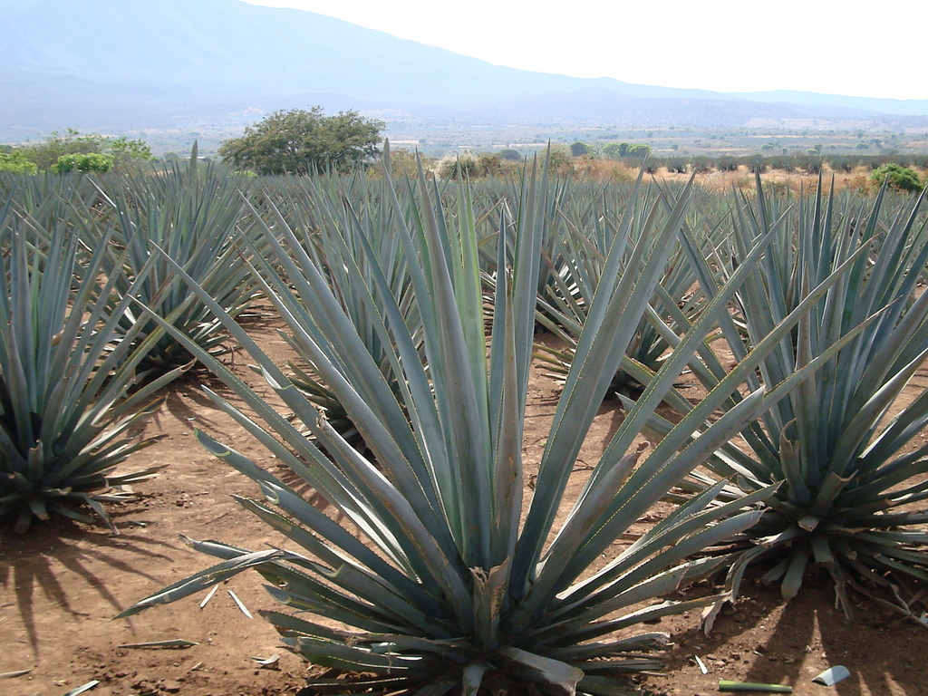 Blue agave in Tequila, Jalisco | © jay8085/Flickr