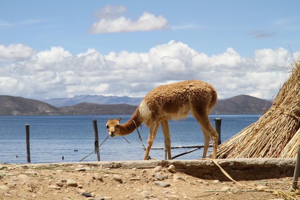 Llama | © Utenriksdepartementet UD/Flickr
