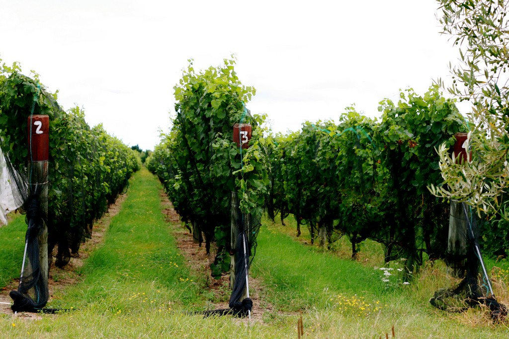 Vineyard just outside Martinborough | © Sarah-Rose/Flickr