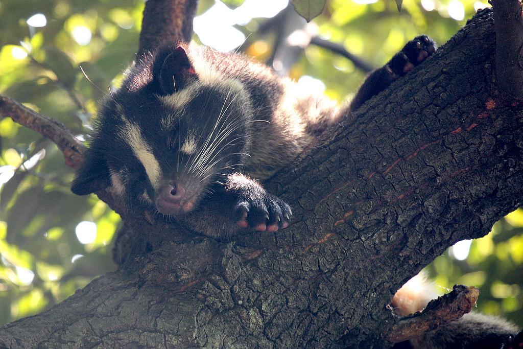 Masked Palm Civet | © Kabacchi/Flickr