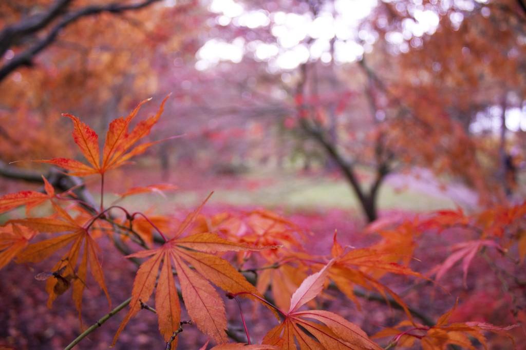 Japanese maple leaves|© Delaina Haslam/Flickr
