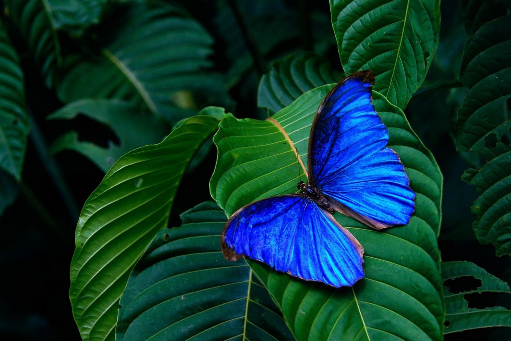 Blue morpho butterfly in the rainforest/Manal Khan/Flickr