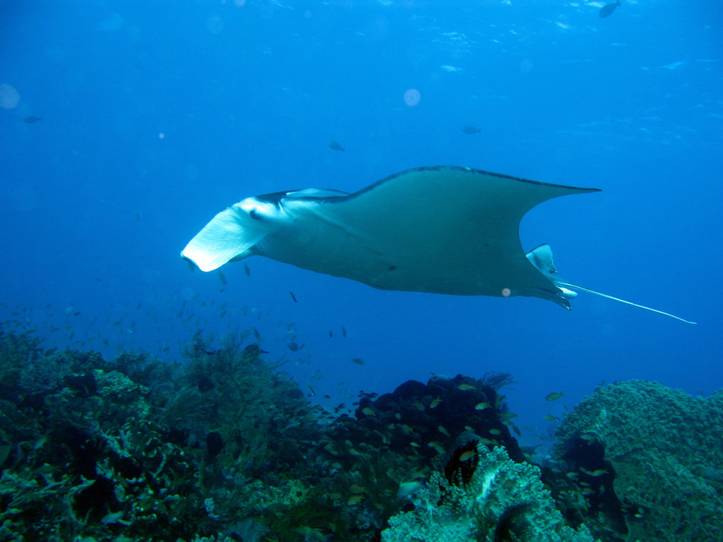 Manta Ray diving is a popular activity in Fiji| © prilfish/Flickr