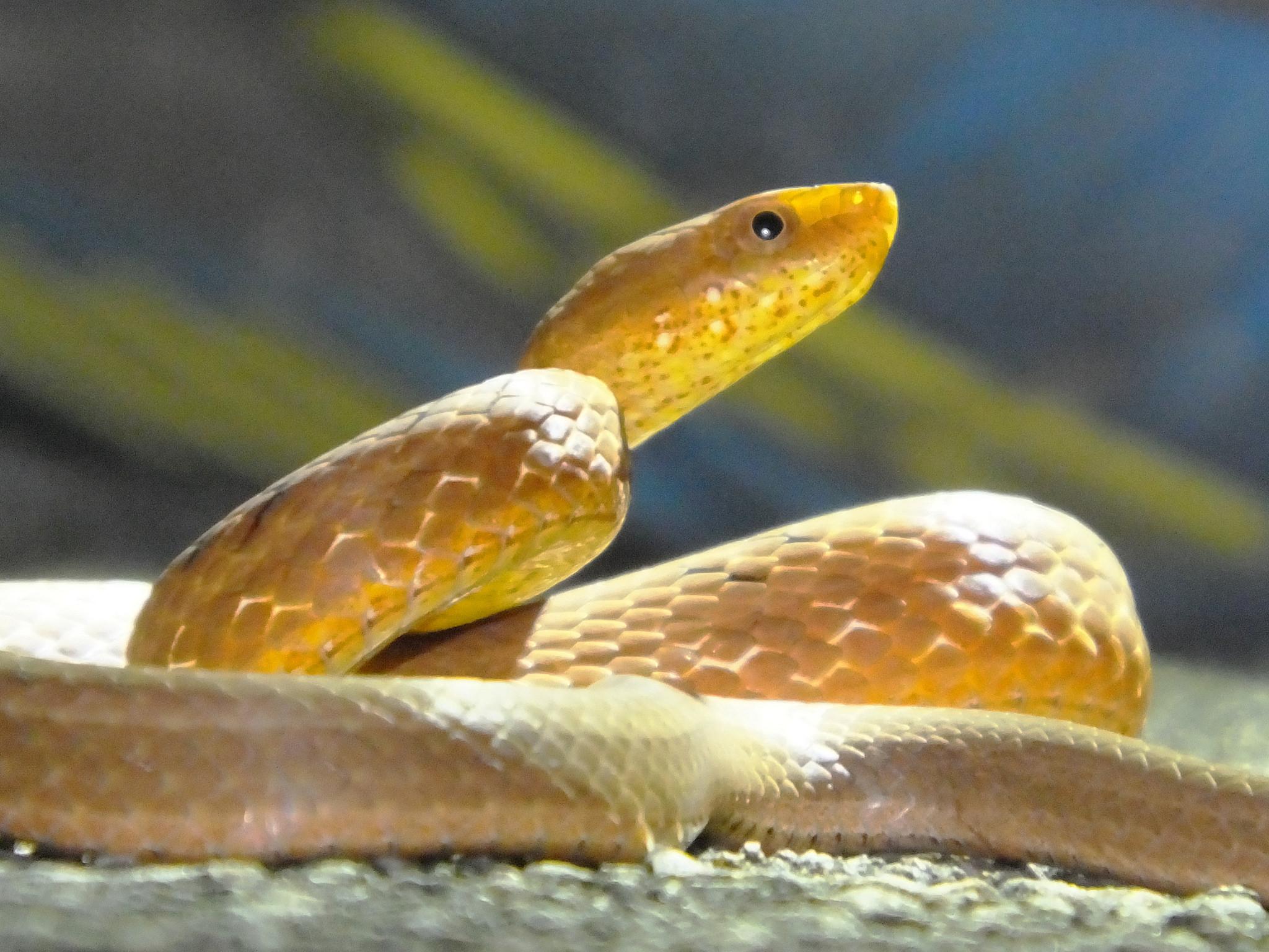 Rufous Burrowing Snake | © Charles Lam/Flickr
