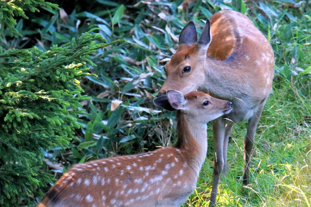 Deer in Shiratoko National Park | © Mr Hicks46/Flickr