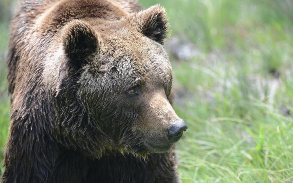 A Eurasian brown bear at the Parc Animalier des Angles │© Ben